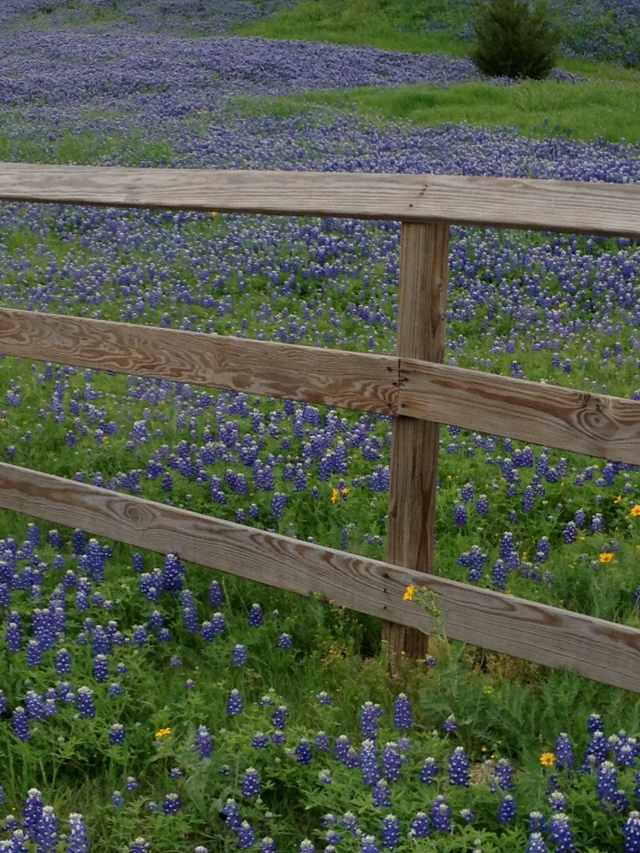 Spring Blue Bonnets near my house